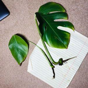 Monstera cuttings